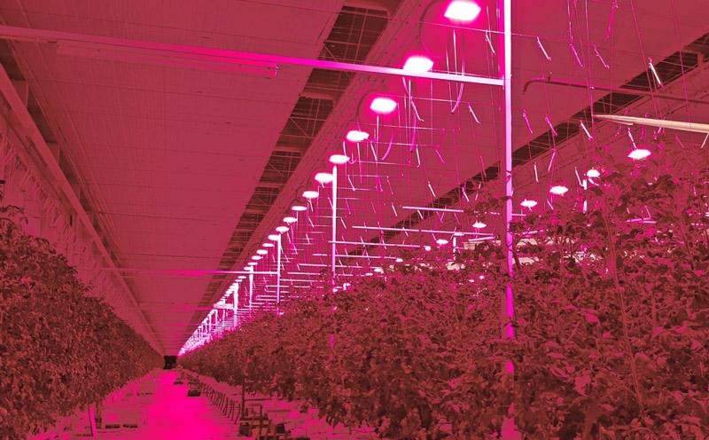 مصارف ال ای دی رشد گیاه در گلخانه های خیار و گوجه فرنگی
