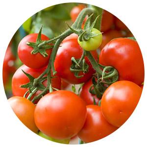 آموزش کامل کشت گوجه فرنگی