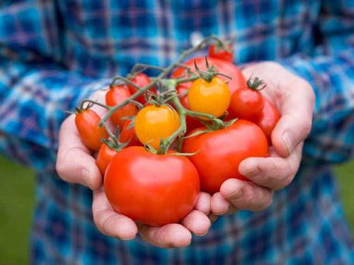 آموش کامل کاشت گوجه فرنگی در خانه و آپارتمان