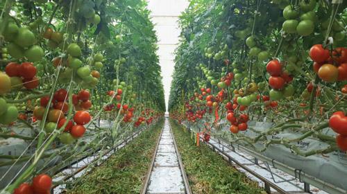 همه چیز در مورد کشت گوجه فرنگی ، کشت گلخانه ای گوجه فرنگی