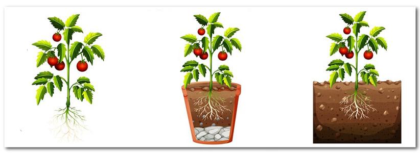 مراحل کشت گوجه فرنگی در خانه یا آپارتمان