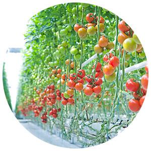 روش کشت-هیدروپونیک-گوجه-فرنگی