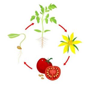 نکات مهم در برنامه کامل کود دهی به گوجه فرنگی