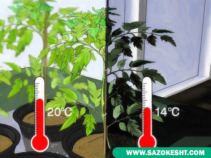 دمای گیاه در کشت هیدروپونیک گوجه فرنگی